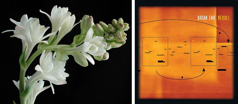 Indian tuberose flower and Brian Eno's Neroli album